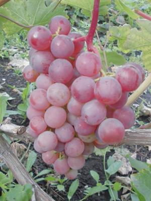 Сорт винограда новый русский описание