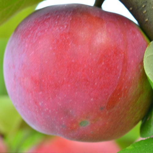 Яблоко сорта подарок графскому